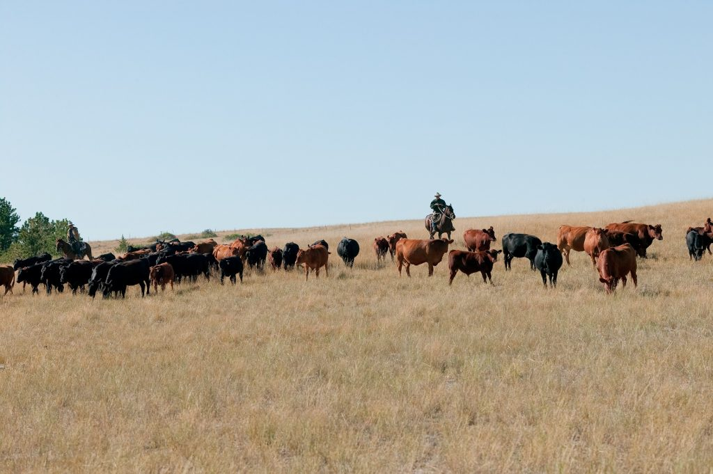 Rancher herding cattle in a field in Northern Texas.